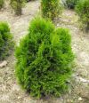 THUJA OCCIDENTALIS ''MIKY''
